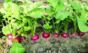 Этот проверенный способ посадки редиски даст ранний и богатый урожай