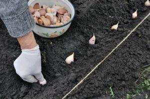 Проверенные временем советы по успешной высадке чеснока на зиму