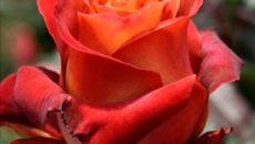 Выбор лучшего куста роз
